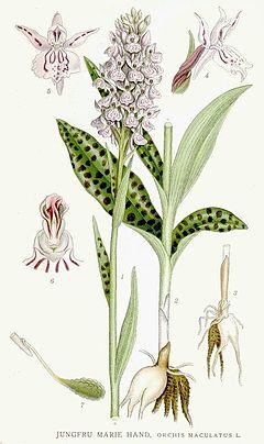 Dactylorhiza maculata Nordens Flora 399