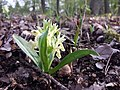 Dactylorhiza sambucina sl23.jpg