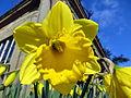 Daffodil (8603070490) (2).jpg