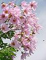 Dahlia imperialis (aussiegall) 001.jpg