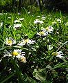 Daisies by macro.JPG