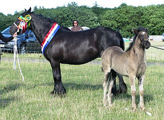 "Black (horse) - As seen in this photo, black foals are often born a ""mousy"" color that sheds off as they get older"