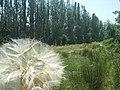 Dandelion - panoramio (2).jpg