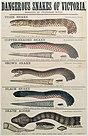 Dangerous Snakes of Victoria poster.JPG