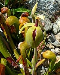 Darlingtonia californica 3