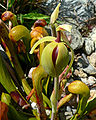 Darlingtonia californica 3.jpg