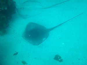 Thorntail stingray - Thorntail stingrays often rest on the bottom during the day.