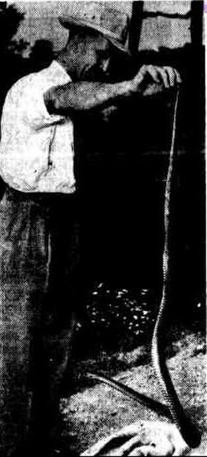 David Fleay Wildlife Park - David Fleay and a brown snake, 1954
