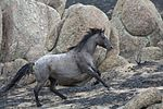 a gray horse galloping up an incline with large boulders in the background