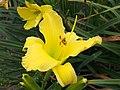 Daylilies in Bloom - 9432558006.jpg