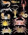 Decapod crustaceans (10.3897-BDJ.8.e47333) Figure 2.jpg