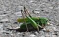 Decticus verrucivorus f 2009 08190381.jpg