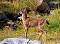 Deer fawn. August 2015. (f5823169fcd84ecfb53937dcffdd806a).JPG