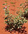 Desert rose habit.jpg