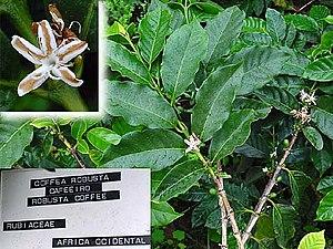 Coffea - Coffea canephora.