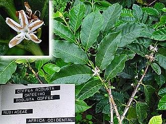Coffea - Coffea canephora