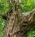 Detail van een oude berk (Betula ermanii). Locatie Hortus Haren 01.jpg