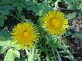 Deux fleurs de pissenlit à Grez-Doiceau 001.jpg