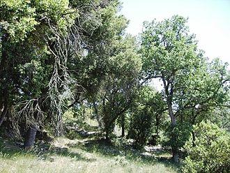 Castelltallat range - Wooded pastureland with Quercus ilex and Quercus pubescens
