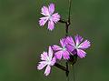 Dianthus strictus.JPG