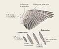 Dibuix de un ala d'un ocell.jpg