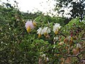 Dichrostachys cinerea-2-mundanthurai-tirunelveli-India.jpg