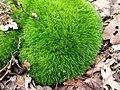 Dicranum scoparium 111515722.jpg