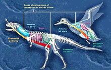 Majungasaurus ve bir kuşun hava keselerinin karşılaştırması