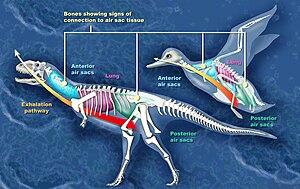 Air sacs - Comparison between the air sacs of Majungasaurus and a bird