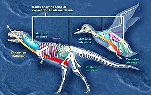 Illustrazione comparativa dei sacchi aeriferi d'un uccello e quelli ipotizzati di un abelisauride.