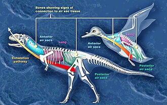 Dinosaur - Comparison between the air sacs of an abelisaur and a bird