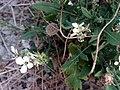 Diplotaxis erucoides Habitus 2010-7-14 ParqueNaturalLagunasdelaMata.jpg