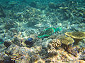 Diving Maldives, 2009 - Parrotfish.jpg