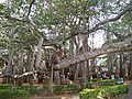 Dodda Alada Mara banyan 6.jpg