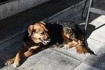 Dog, Sitting, Nafplio.jpg