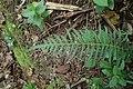 Doodia australis kz10.jpg
