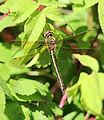 Dragonfly Haukipudas 20120703 02.JPG