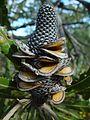 Dried banksia flower.jpg