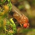 Drosophilid Fly (31467659510).jpg