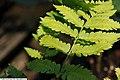 Dryopteris goldiana 4zz.jpg