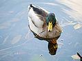 Duck (11162031345).jpg