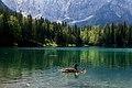 Ducklings on Fusine Lake (50209330017).jpg