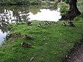 Ducks settling down for the night - geograph.org.uk - 980604.jpg