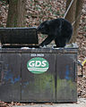 Dumpster diving bear Asheville 3.jpg