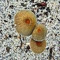 Dune Mushrooms (5896067731).jpg