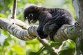 Dusky leaf monkey, Trachypithecus obscurus.jpg
