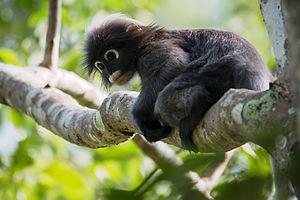 Kaeng Krachan National Park - Image: Dusky leaf monkey, Trachypithecus obscurus