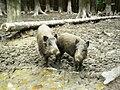 Dve svine - panoramio.jpg