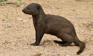 Common dwarf mongoose species of mammal, small African carnivore