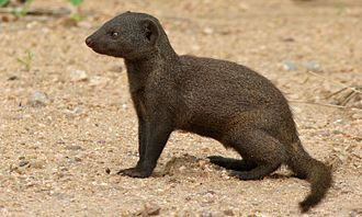 Common dwarf mongoose - Common dwarf mongoose in Kruger National Park
